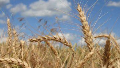 La Comader blé