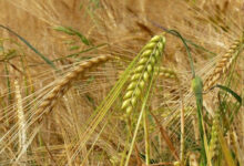 production de cereales Beni Mellal Khenifra copier e1620683089868